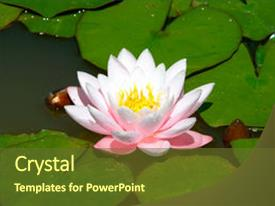 PPT theme consisting of lotus flower - water lily background and a tawny brown colored foreground.