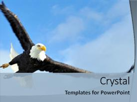 PPT layouts enhanced with mature american bald eagle swooping background and a light blue colored foreground.