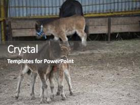 PPT theme having animal - mini dwarf horse background and a dark gray colored foreground.