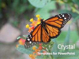 Amazing PPT theme having monarch butterfly feeding on orange and yellow flower note visible grain at 100 best at smaller sizes backdrop and a gray colored foreground