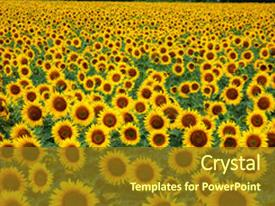 Slide deck featuring multitude of sunflowers in a field background and a tawny brown colored foreground.
