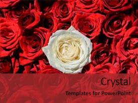 Beautiful presentation featuring natural rose flowers background free space oone white rose among red roses individuality outstanding uniqueness independence think different leadership concept out from the crowd backdrop and a red colored foreground.
