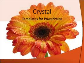 Presentation theme consisting of orange daisy gerbera flower background and a gold colored foreground