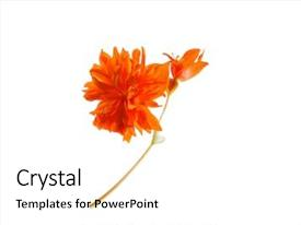 Beautiful slide set featuring orange flower isolated backdrop and a white colored foreground