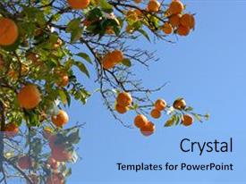 Colorful PPT theme enhanced with oranges on a tree backdrop and a light blue colored foreground.