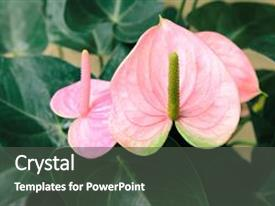 Presentation enhanced with original pink anthurium flower blooming in the garden common names include anthurium tailflower flamingo flowerand and laceleaf vivid floral background background and a dark gray colored foreground.