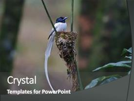 Colorful slide deck enhanced with paradise flycatcher male white morph backdrop and a dark gray colored foreground.