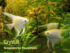 PPT theme featuring photo of aquarium tropical white fish on green natural background background and a tawny brown colored foreground.