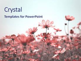 Audience pleasing PPT layouts consisting of pink cosmos bipinnatus flowers against backdrop and a sky blue colored foreground.