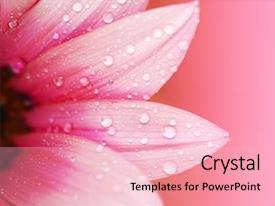 Presentation with pink flower petals macro background and a lemonade colored foreground