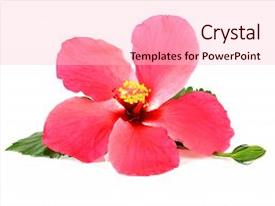 Beautiful PPT theme featuring pink hibiscus flower isolated backdrop and a lemonade colored foreground.