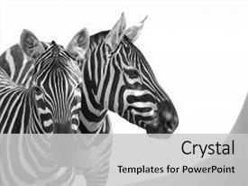 Africa powerpoint templates ppt themes with africa backgrounds presentation theme with africa plains zebra equus quagga is background and a light gray colored toneelgroepblik Choice Image