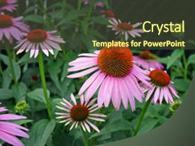 Beautiful presentation theme featuring plant nature - natural flower echinacea is grown backdrop and a tawny brown colored foreground.