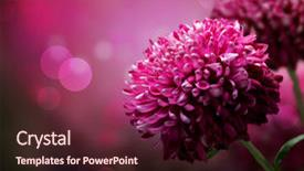 Presentation design consisting of purple flowers - dahlia autumn flower design background and a wine colored foreground.