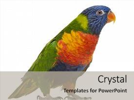 Amazing presentation having rainbow lorikeet trichoglossus haematodus 3 years old standing in front of white background backdrop and a light gray colored foreground.