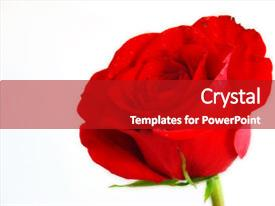 Audience pleasing slide set consisting of red rose on pure white backdrop and a crimson colored foreground.