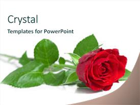 PPT layouts enhanced with red rose on the white background and a cool aqua colored foreground.