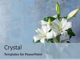 Presentation design consisting of religious - beautiful white lilies on grunge background and a light blue colored foreground