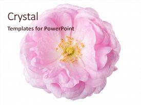 PPT theme featuring roses - light pink rose isolated on background and a lemonade colored foreground.