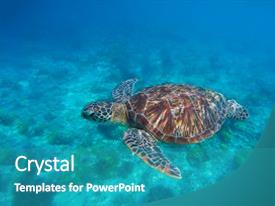 PPT layouts consisting of sea turtle in water swimming background and a  colored foreground.