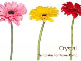 PPT theme having set of gerbera flowers isolated background and a cream colored foreground