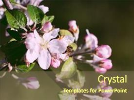 PPT theme enhanced with spring blooming apple flowers - natural background and a violet colored foreground.