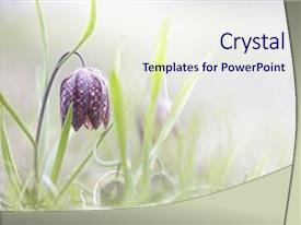 Cool new presentation theme with wild - spring flowering wildflower fritillaria meleagris backdrop and a sky blue colored foreground.