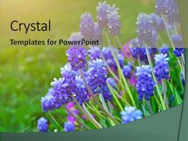 PPT layouts enhanced with spring flowers muscari - flower natural background and a mint green colored foreground.