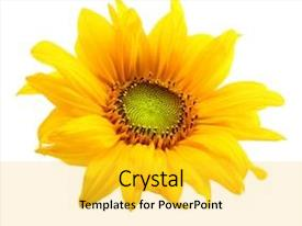 Amazing slide deck having sunflower isolated on white background backdrop and a yellow colored foreground