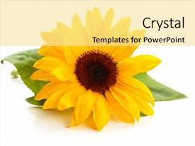 Audience pleasing theme consisting of sunflower with leaves isolated backdrop and a blonde colored foreground.