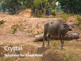 Slide deck consisting of animal - thai buffalo are feeding background and a coral colored foreground.
