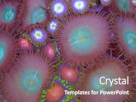 Slide set consisting of this is a mix of zoanthids polythoa soft corals background and a gray colored foreground