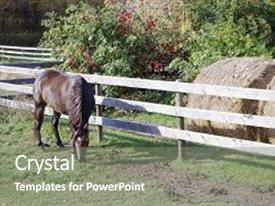 PPT Theme Consisting Of Thoroughbred Canadian Barrel Racing Horse Grazing On The Farm Background And A