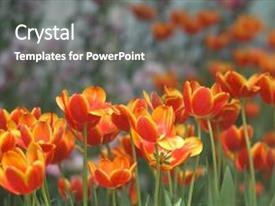 Beautiful slide deck featuring tulips orange soft image orange backdrop and a gray colored foreground.