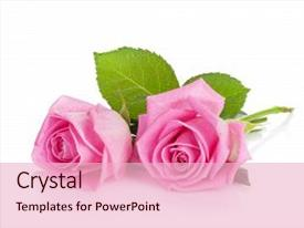 Slide deck consisting of two pink rose flowers isolated background and a  colored foreground.
