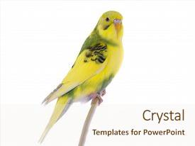 Cool new presentation design with animal - wavy budgie sitting backdrop and a sky blue colored foreground.