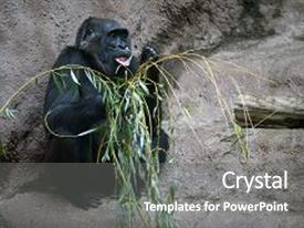 5000 zoology powerpoint templates w zoology themed backgrounds ppt theme enhanced with western gorilla eating a bough background and a toneelgroepblik Images