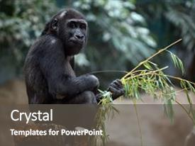5000 zoology powerpoint templates w zoology themed backgrounds beautiful presentation theme featuring western gorilla sitting backdrop and a dark gray toneelgroepblik Images