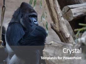 5000 zoology powerpoint templates w zoology themed backgrounds audience pleasing ppt layouts consisting of zoology western gorilla sitting backdrop and a gray colored toneelgroepblik Choice Image
