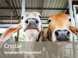Slide deck enhanced with animal - white and brown cow background and a gray colored foreground.