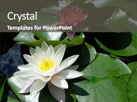 Audience pleasing PPT layouts consisting of white and pink water lilies backdrop and a dark gray colored foreground.