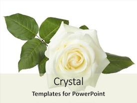 Beautiful PPT theme featuring white rose isolated on white backdrop and a soft green colored foreground