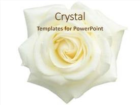 PPT layouts consisting of white rose isolated on white background and a cream colored foreground