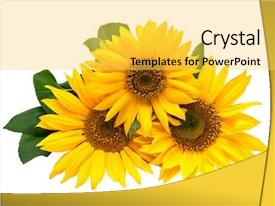 Beautiful presentation theme featuring yellow sun - sunflowers isolated on a white backdrop and a yellow colored foreground