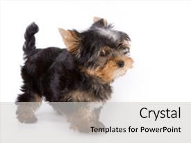 Colorful slide set enhanced with yorkshire terrier yorkie puppy standing on a white background backdrop and a light gray colored foreground