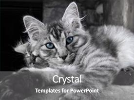 Beautiful slides featuring young grey maine coon cat backdrop and a gray colored foreground.
