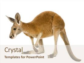 Cool new presentation theme with young red kangaroo 9 months - macropus rufus in front of a white background backdrop and a sky blue colored foreground.