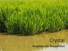 5000 rice powerpoint templates w rice themed backgrounds audience pleasing ppt theme consisting of young rice plant in rice backdrop and a gold colored toneelgroepblik Gallery