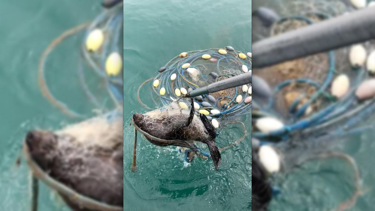 Resgate de lobo-marinho preso à rede de pesca.