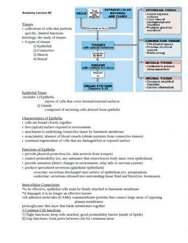 lecture-2-notes-epithelium-and-connective-tissue-proper-doc
